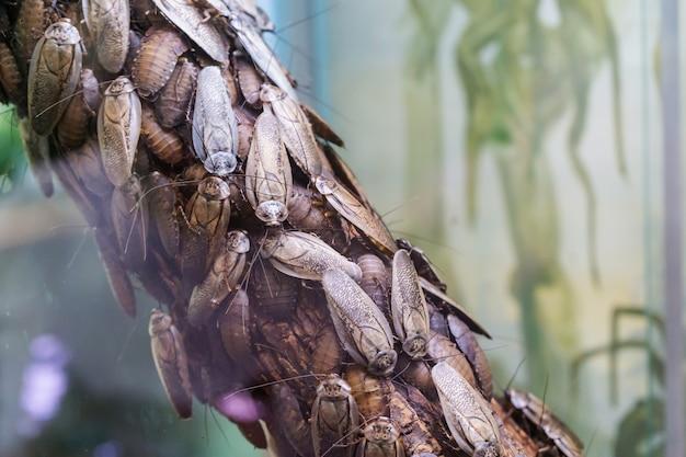 Blaberus craniifer is een kakkerlak, vergelijkbaar met de discoïde kakkerlak.