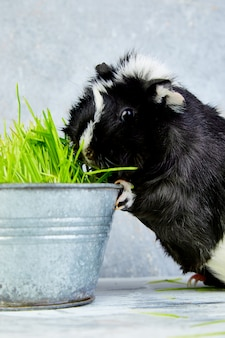 Blacck-proefkonijn dichtbij vaas met vers gras.