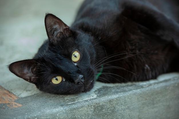 Black adult liggende kat rustend op de vloer