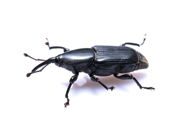 Black beetle op wit