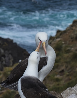 Black browed albatross saunders island