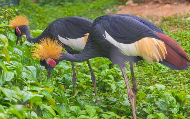 Black crowned crane twee vogels eten voedsel