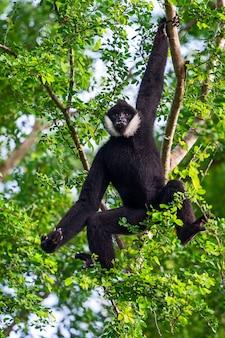 Black gibbon-mannetjes op een tak.