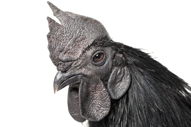 Black rooster ayam cemani chicken op wit geïsoleerd.