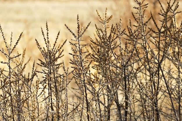 Blackberry-struiken in de recente herfst.