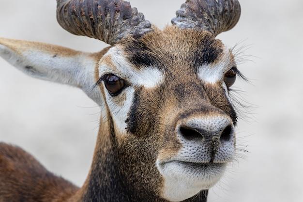 Blackbuck of indische antilope mannelijk portret