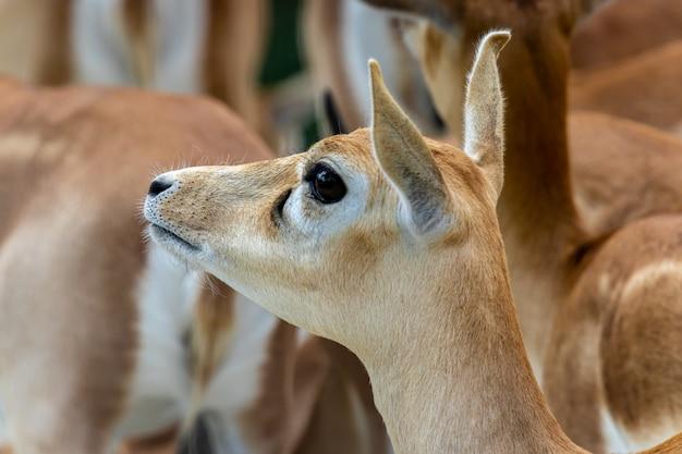 Blackbuck of indische antilope vrouwelijk portret