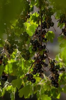 Blackcurrants op de struiktak in de tuin.