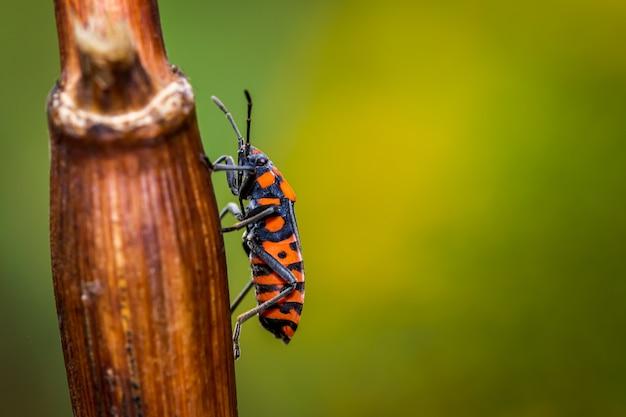 Blackred seed bug in de wei