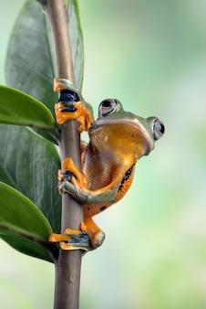 Blackwebbed boomkikker hangend aan een blad