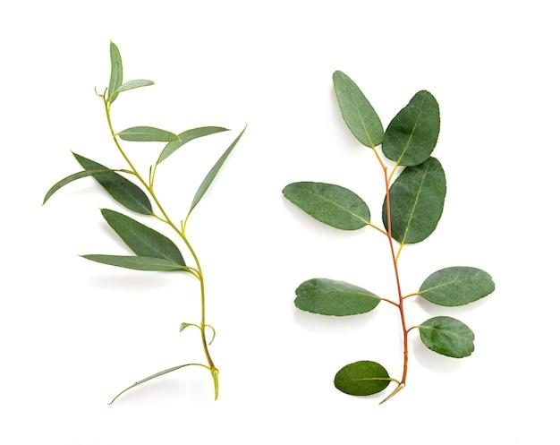 Blad van eucalyptus voor wit