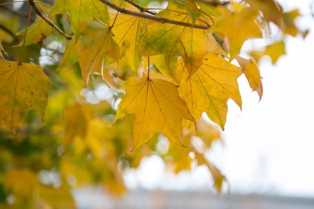 Blad van ginkgo-boom bij showa-kinenpark, tokyo, japan
