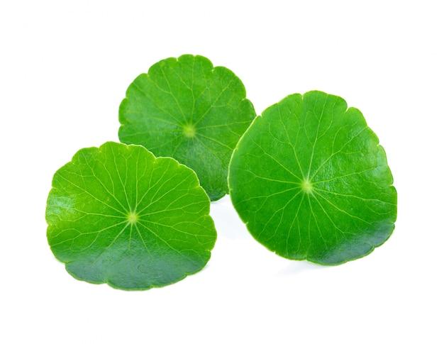 Blad van gotu-kola, aziatische waternavel, aziatisch die blad op wit wordt geïsoleerd