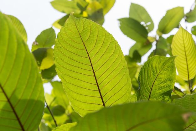 Blad van mitragyna speciosa korth (kratom) een medicijn uit plant