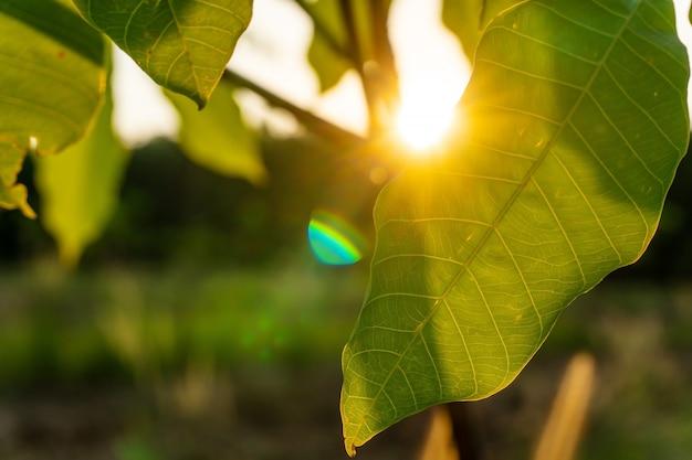 Blad van para-rubberboom, latexrubberplantage en boomrubber