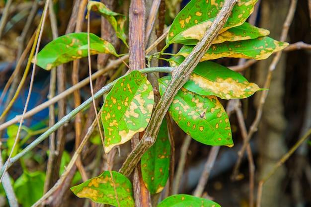 Bladclose-up bladeren die boom worden geïnjecteerd met insecticiden.