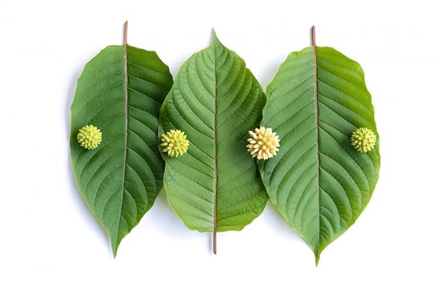 Bladeren, bloemen, fruit en vloeistof van kratom of mitragynine op wit geïsoleerd