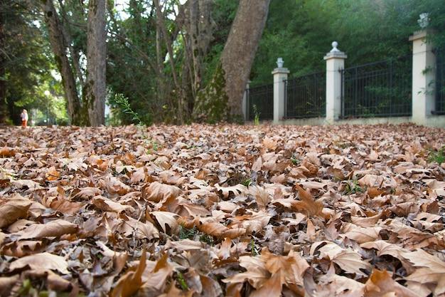 Bladeren die van de bomen in het bos zijn gevallen met het begin van de herfst gevallen esdoornbladeren, late herfst in het park