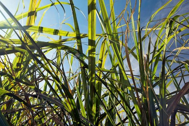 Bladeren en suikerriet stengel