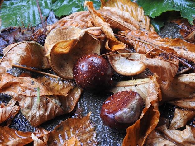 Bladeren en vruchten van paardenkastanje na regen
