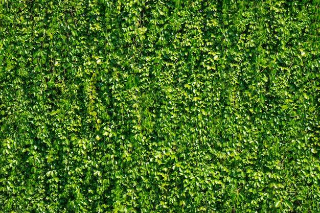 Bladeren met relatief kleine bladeren en uitgroeien tot muur