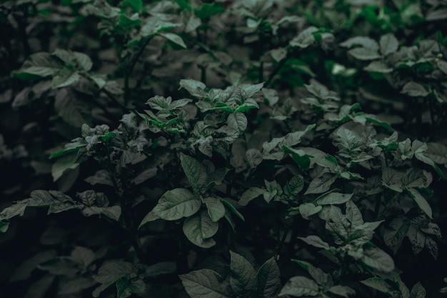 Bladeren van aardappel groeien in de grond