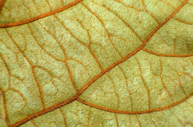 Bladeren van bauhinia aureifolia