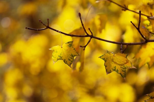 Bladeren van de de herfst de gele esdoorn op de boom