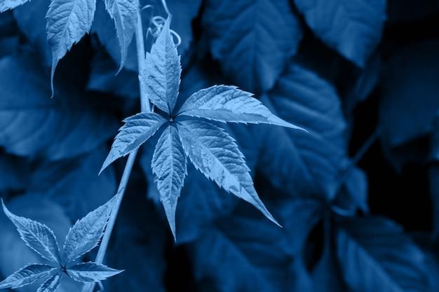 Bladeren van de wilde druiven in klassieke blauwe trendy kleur. achtergrond. kleur van het jaar
