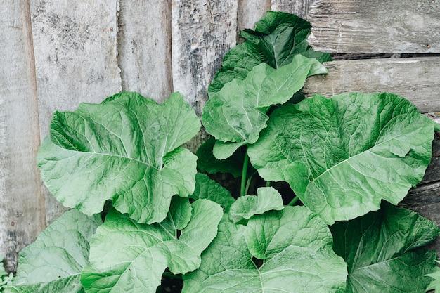 Bladeren van een grote klis op een houten achtergrond. geneeskrachtige kruiden.