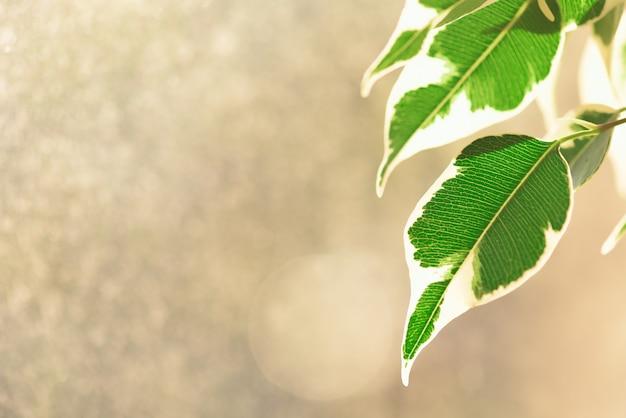Bladeren van indoor ficus zijn doorschijnend in de zon.