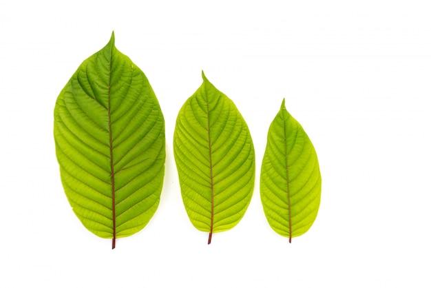 Bladeren van kratom of mitragynine op geïsoleerd wit