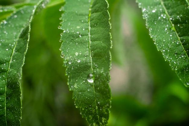Bladeren van lijsterbes met een druppel water. natural.