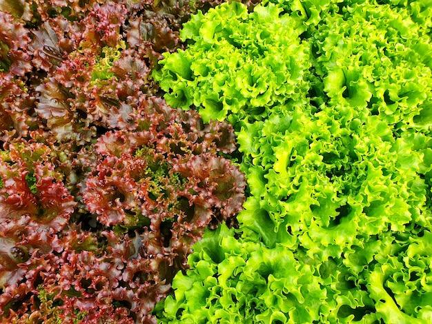 Bladgroenten groeien in indoor farm/vertical farm. verticale boerderij