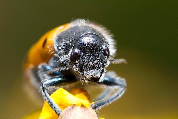 Bladkever (lachnaia paradoxa)