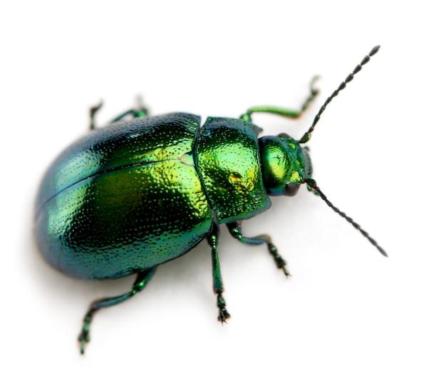 Bladkevers - chrysomelinae sp, geïsoleerd op wit