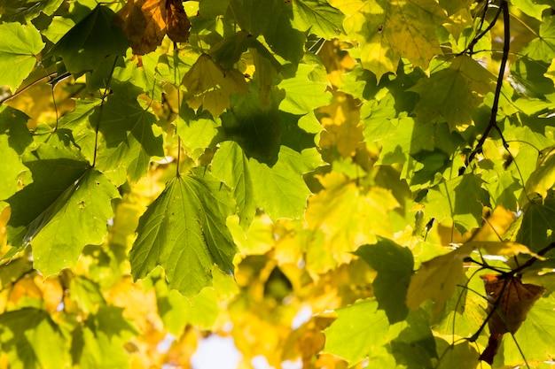 Bladval in het bos, een deel van het gebladerte dat aan het begin van het herfstseizoen aan de bomen hangt, details van de bomen in het bos