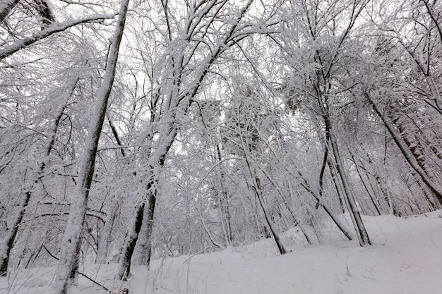 Bladverliezende bomen in de winter, koud ijzig winterweer in de natuur na sneeuwval, loofbomen van verschillende rassen na sneeuwval in het park