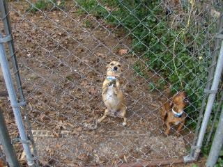 Blaffende honden