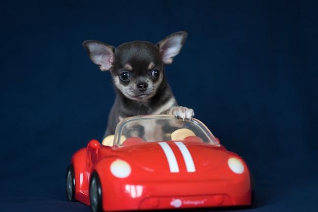 Blauw chihuahua-puppy in een rode auto op een klassieke blauwe achtergrond.