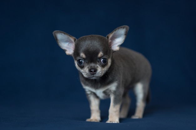 Blauw chihuahua-puppy op een klassieke blauwe achtergrond.
