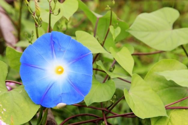 Blauw gekleurde morning glory flowers.