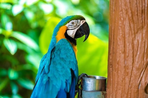 Blauw gele papegaai ara zittend op een tak.