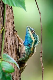 Blauw kameleon op de boom