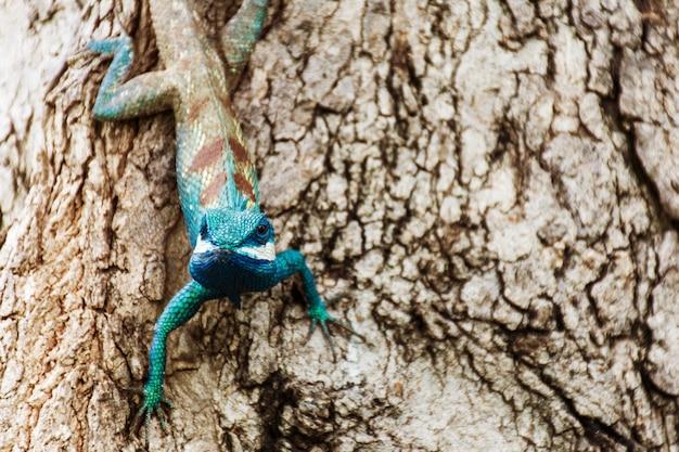 Blauw kameleon op tropisch gebied op de boom