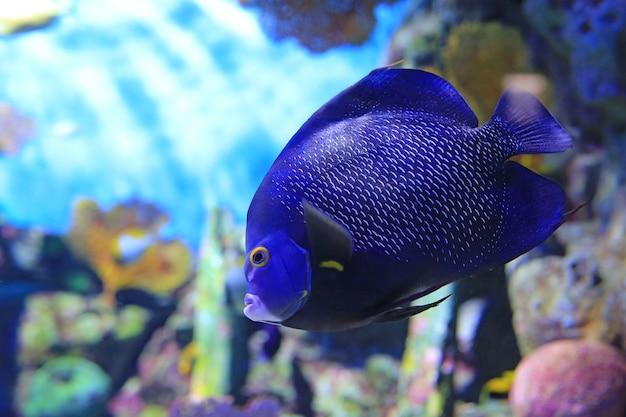 Blauw onder ogen gezien zeeëngel die (pomacanthus xanthometopon) onder water in aquariumtank zwemt.