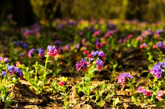Blauw paarse bloemen lungwort pulmonaria op lente bos natuurlijke achtergrond. detailopname. selectieve zachte focus. ondiepe scherptediepte. tekst kopie ruimte.