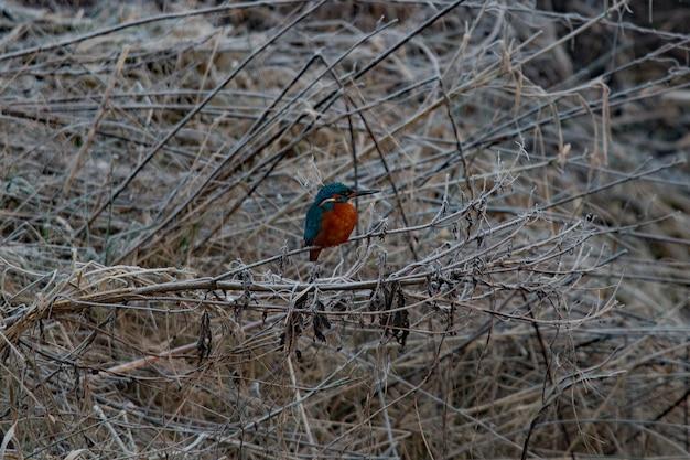 Blauwbruine ijsvogel die op een tak in de winter neerstrijkt