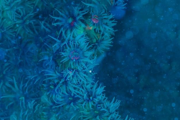 Blauwe abstracte achtergrond van zoanthid koraal