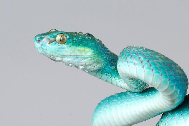 Blauwe adder slang close-up gezicht met grijze achtergrond